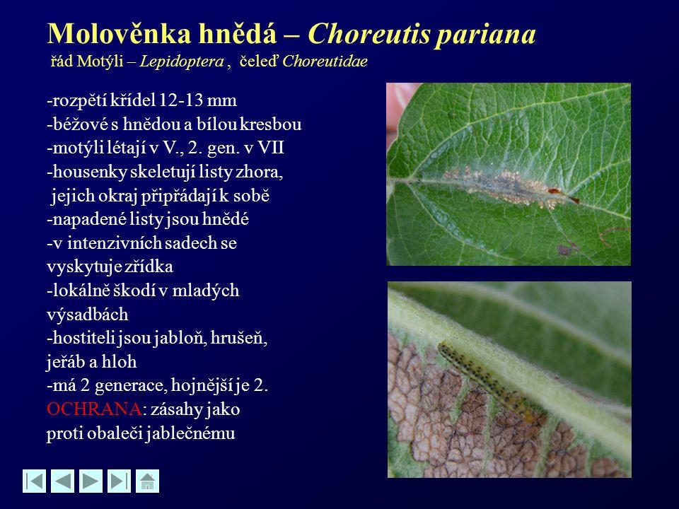 Molověnka hnědá – Choreutis pariana řád Motýli – Lepidoptera, čeleď Choreutidae -rozpětí křídel 12-13 mm -béžové s hnědou a bílou kresbou -motýli léta