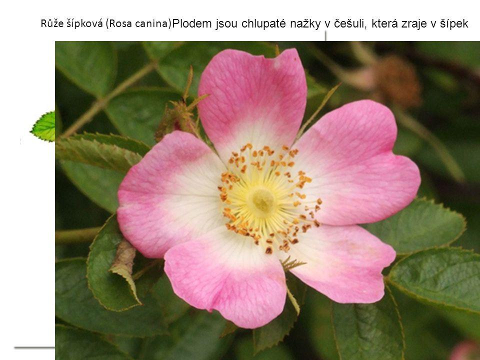 Růže šípková (Rosa canina) Plodem jsou chlupaté nažky v češuli, která zraje v šípek