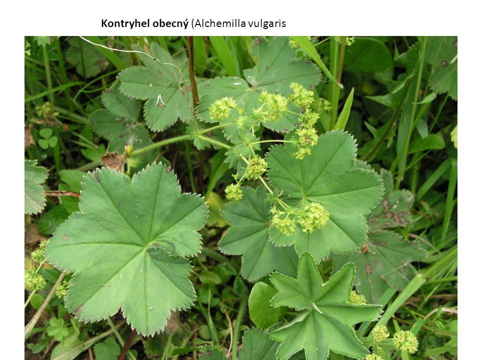 Kontryhel obecný (Alchemilla vulgaris