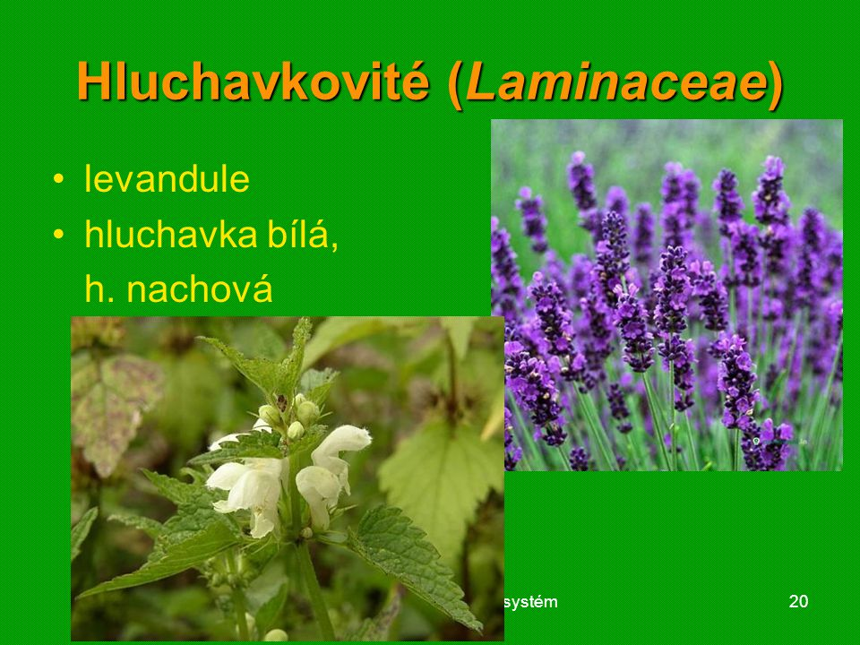 01 krytosemenné rostliny - systém20 Hluchavkovité (Laminaceae) levandule hluchavka bílá, h. nachová
