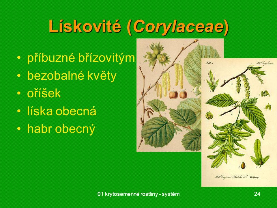 01 krytosemenné rostliny - systém24 Lískovité (Corylaceae) příbuzné břízovitým bezobalné květy oříšek líska obecná habr obecný