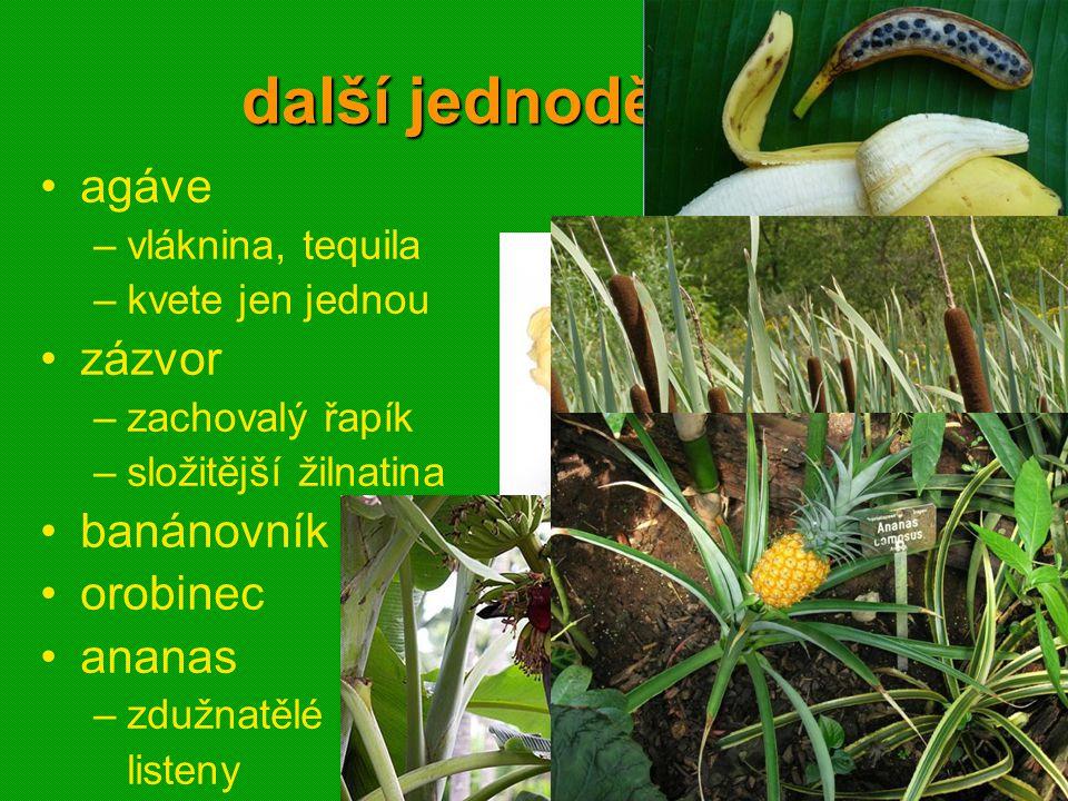 další jednoděložné agáve –vláknina, tequila –kvete jen jednou zázvor –zachovalý řapík –složitější žilnatina banánovník orobinec ananas –zdužnatělé lis