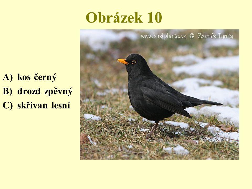 Obrázek 10 A)kos černý B)drozd zpěvný C)skřivan lesní