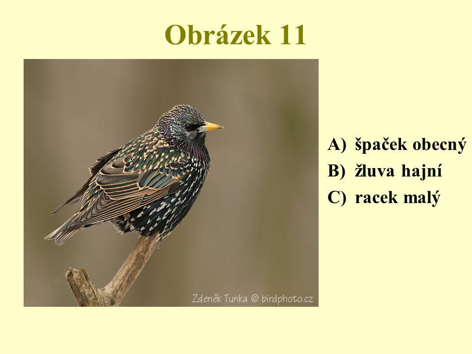 Obrázek 11 A)špaček obecný B)žluva hajní C)racek malý