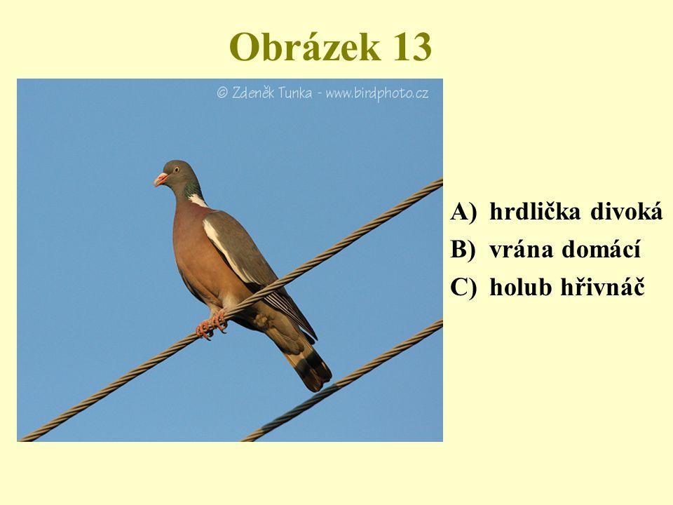 Obrázek 13 A)hrdlička divoká B)vrána domácí C)holub hřivnáč