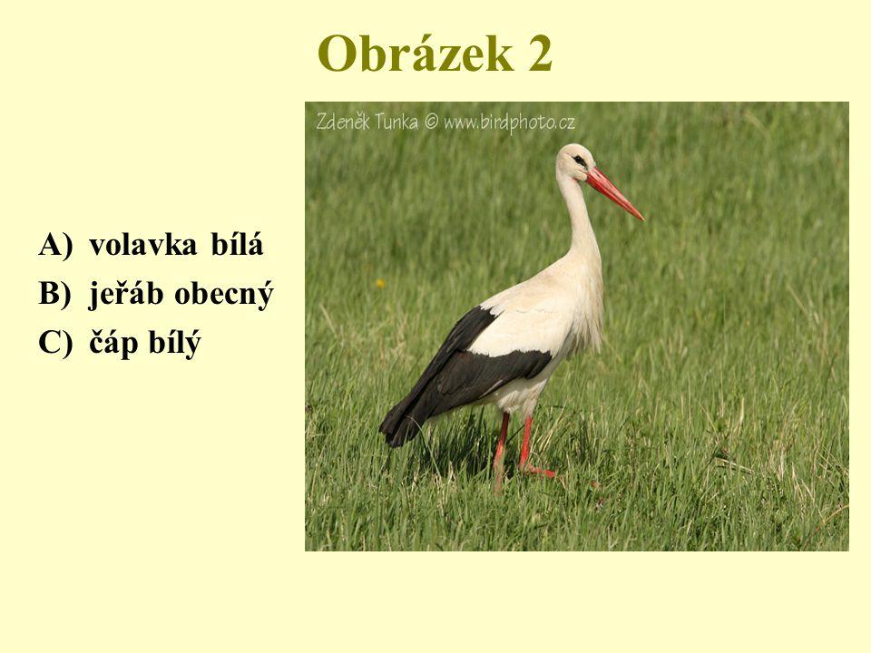 Obrázek 2 A)volavka bílá B)jeřáb obecný C)čáp bílý