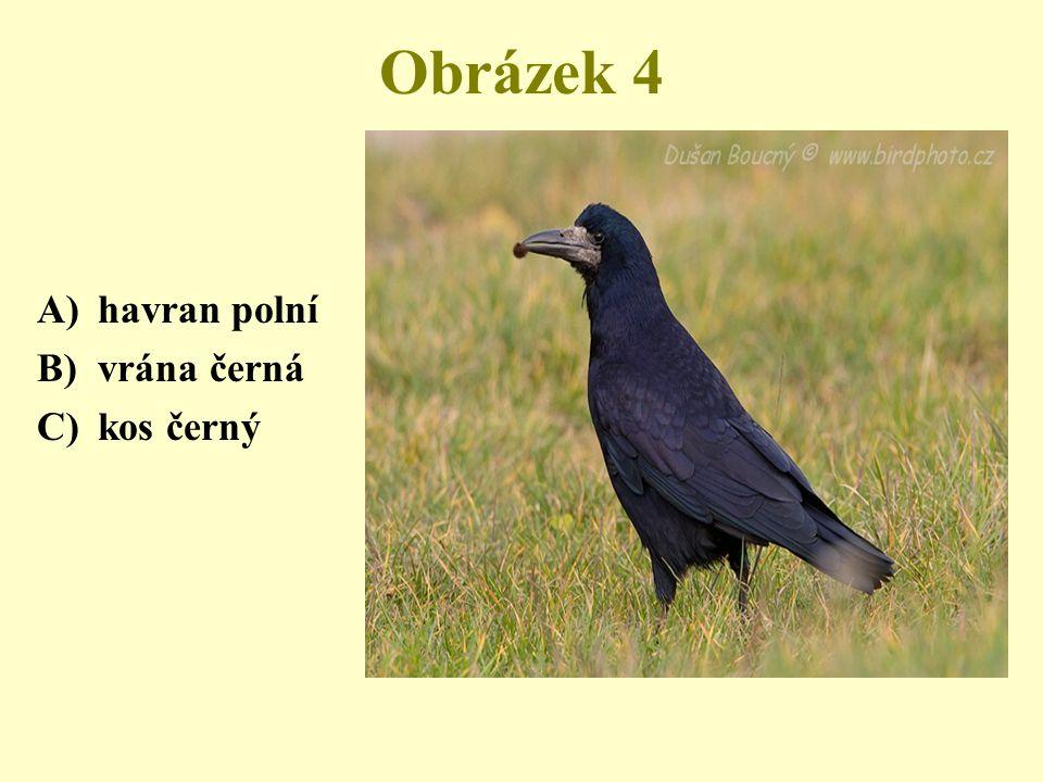 Obrázek 4 A)havran polní B)vrána černá C)kos černý