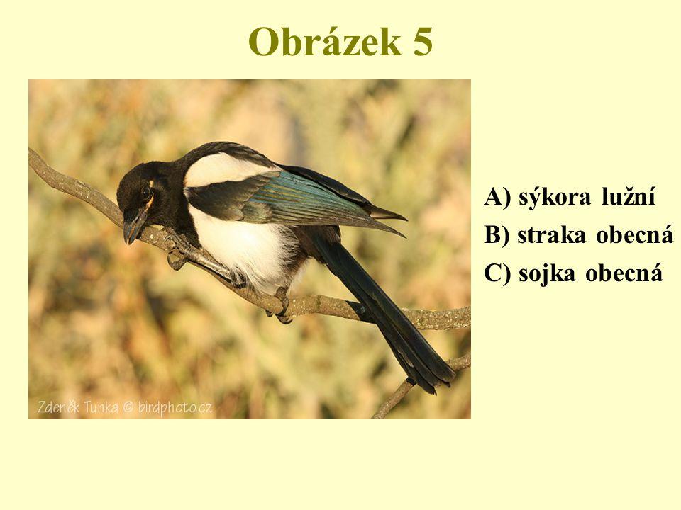 Obrázek 5 A) sýkora lužní B) straka obecná C) sojka obecná