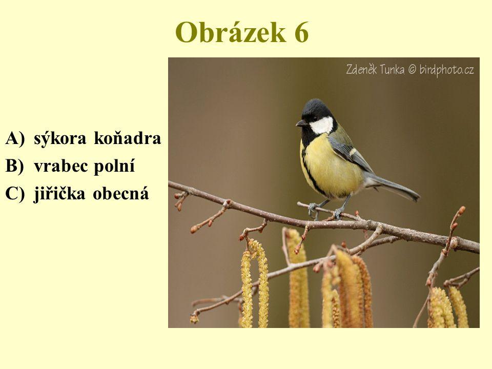 Obrázek 7 A)potápka malá B)lyska černá C)kachna divoká