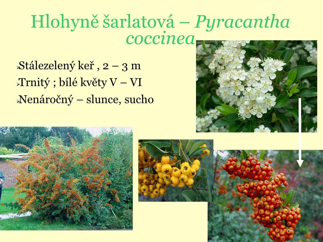 Hlohyně šarlatová – Pyracantha coccinea  Stálezelený keř, 2 – 3 m  Trnitý ; bílé květy V – VI  Nenáročný – slunce, sucho