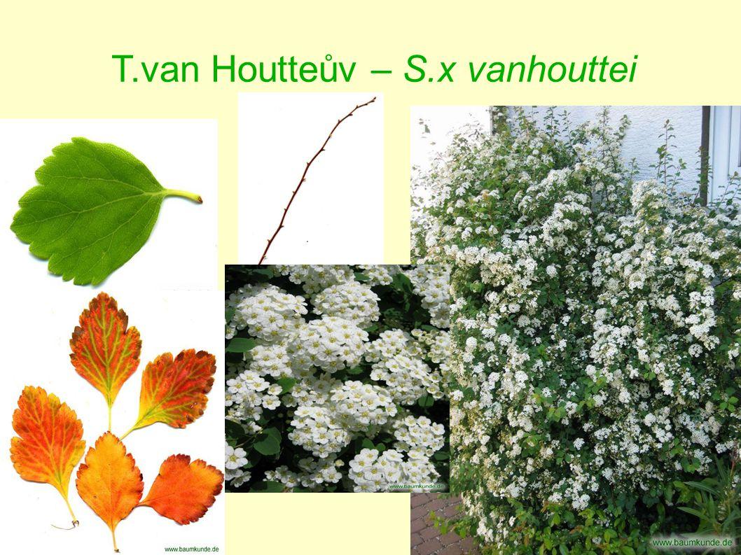 T.van Houtteův – S.x vanhouttei