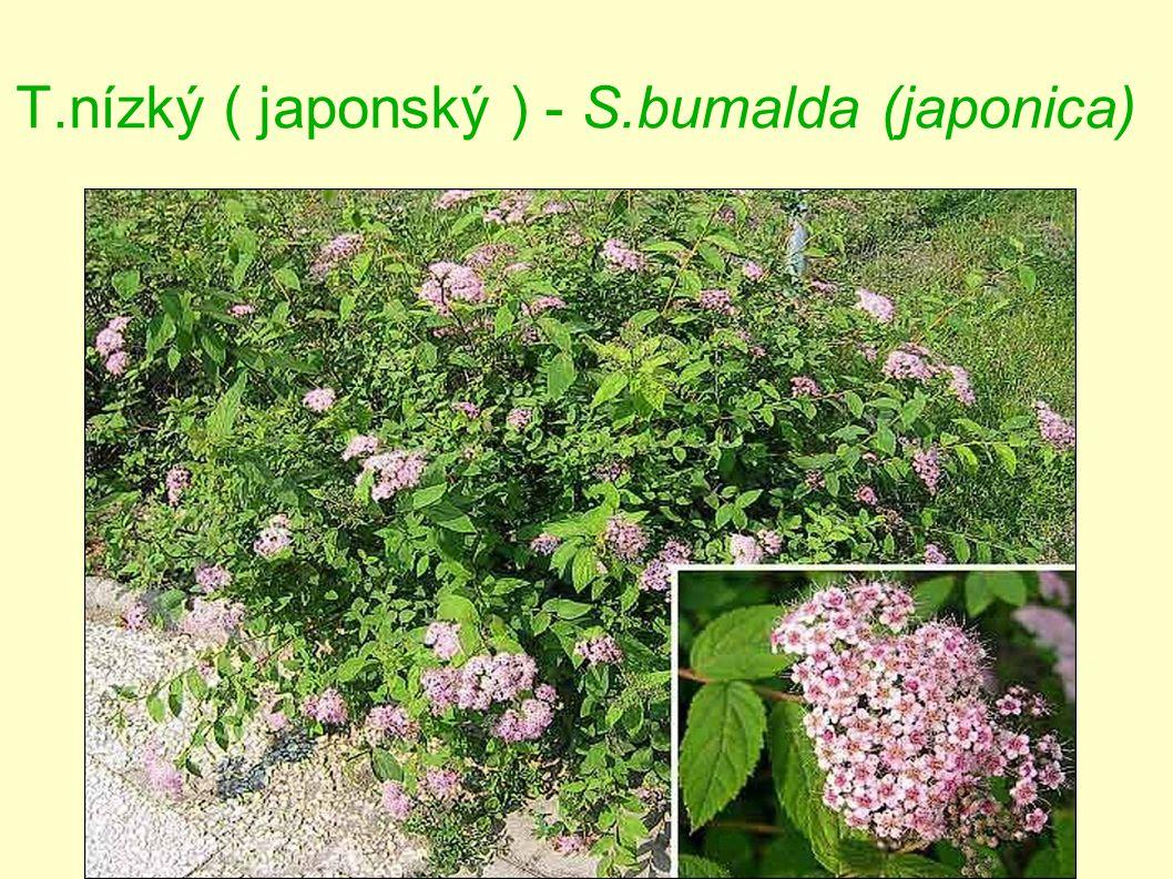 T.nízký ( japonský ) - S.bumalda (japonica)