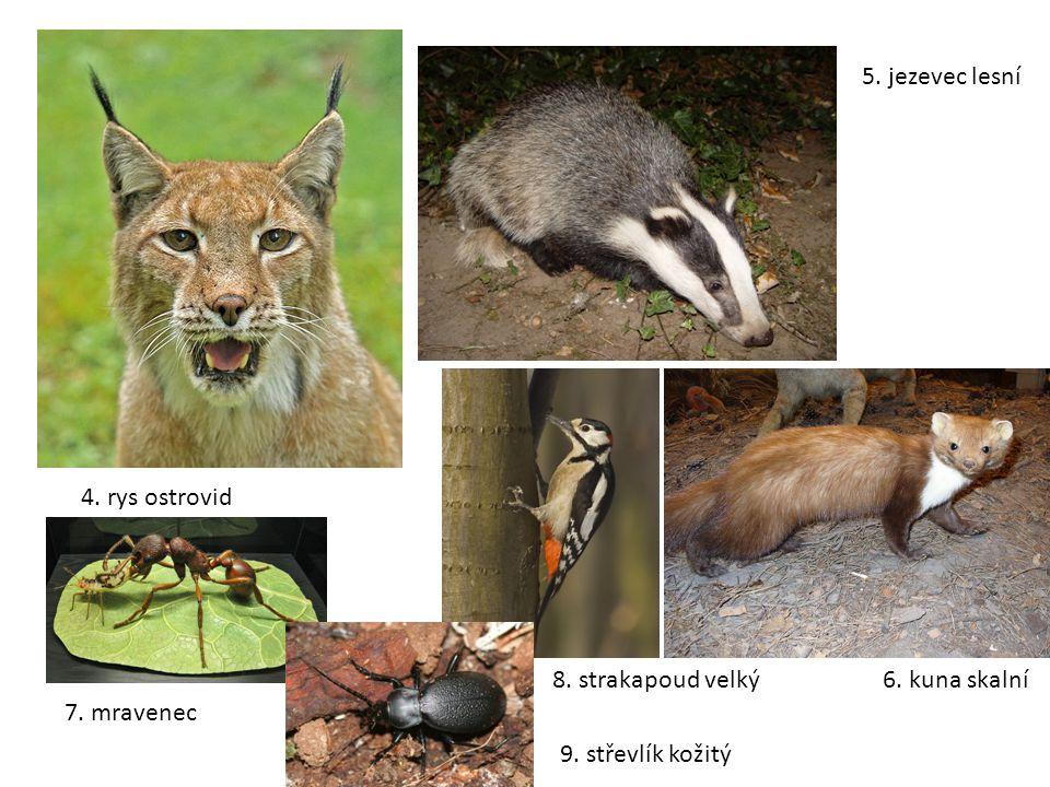 4. rys ostrovid 5. jezevec lesní 6. kuna skalní 7. mravenec 8. strakapoud velký 9. střevlík kožitý