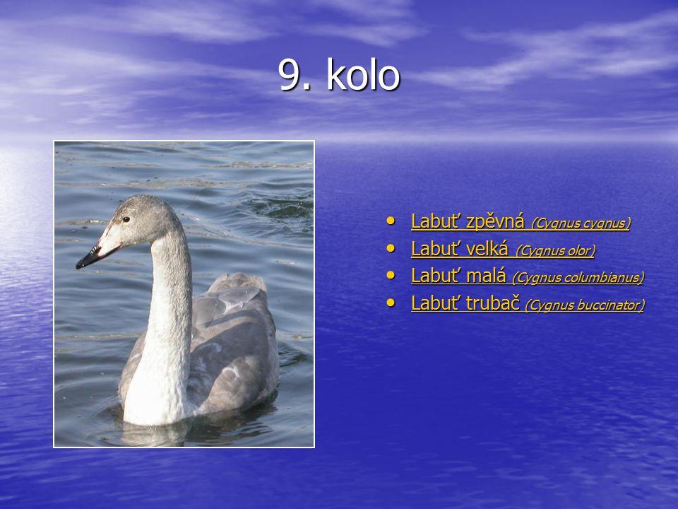 9. kolo Labuť zpěvná (Cygnus cygnus) Labuť zpěvná (Cygnus cygnus) Labuť zpěvná (Cygnus cygnus) Labuť zpěvná (Cygnus cygnus) Labuť velká (Cygnus olor)