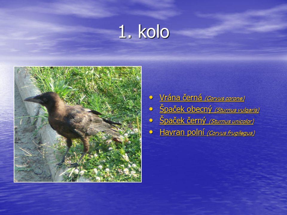 1. kolo Vrána černá (Corvus corone) Vrána černá (Corvus corone) Vrána černá (Corvus corone) Vrána černá (Corvus corone) Špaček obecný (Sturnus vulgari