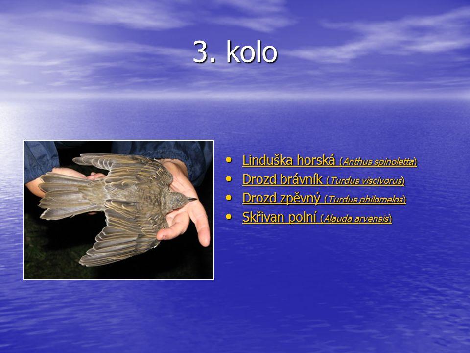 3. kolo Linduška horská (Anthus spinoletta) Linduška horská (Anthus spinoletta) Linduška horská (Anthus spinoletta) Linduška horská (Anthus spinoletta
