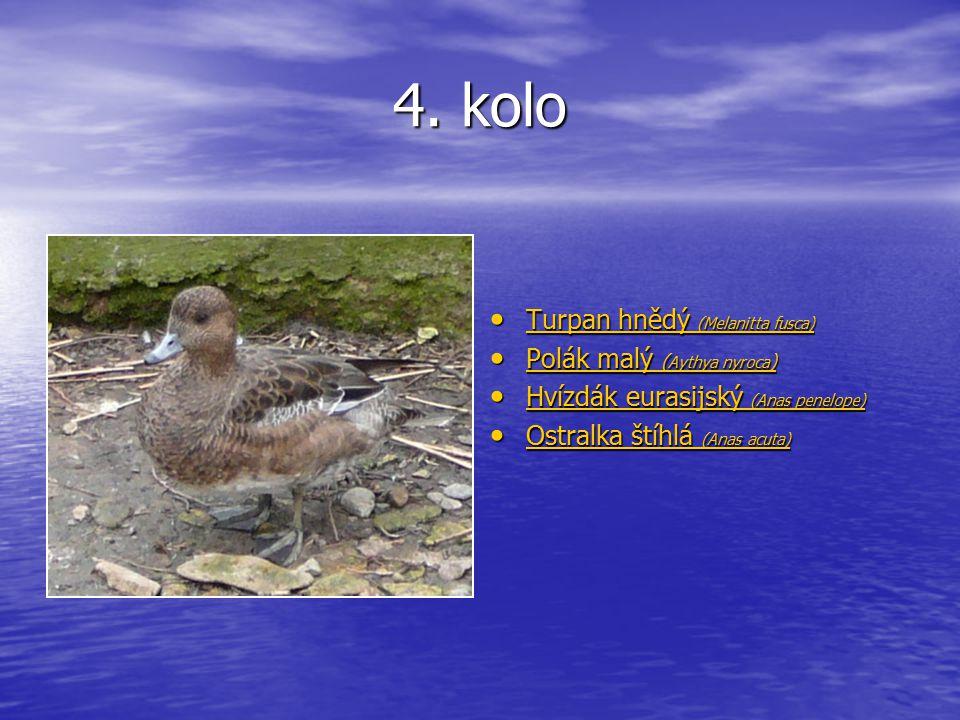 4. kolo Turpan hnědý (Melanitta fusca) Turpan hnědý (Melanitta fusca) Turpan hnědý (Melanitta fusca) Turpan hnědý (Melanitta fusca) Polák malý ( Aythy