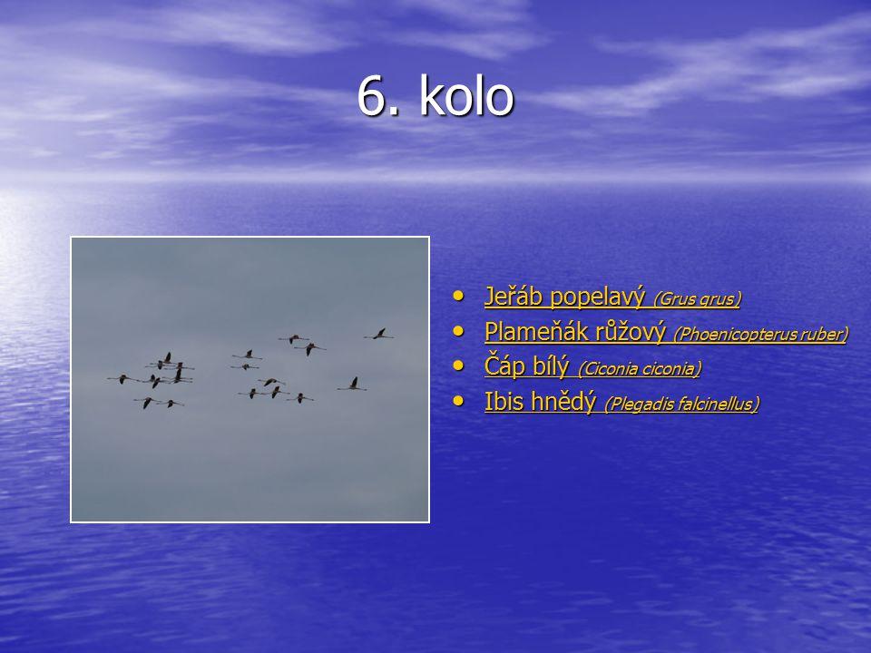 6. kolo Jeřáb popelavý (Grus grus) Jeřáb popelavý (Grus grus) Jeřáb popelavý (Grus grus) Jeřáb popelavý (Grus grus) Plameňák růžový (Phoenicopterus ru