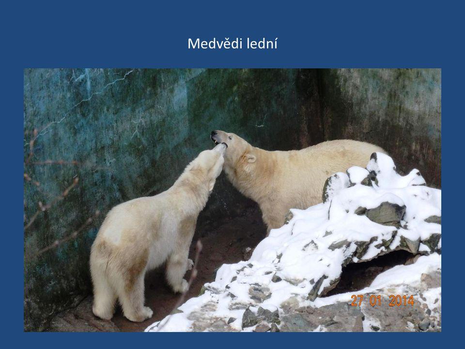 Medvědi lední