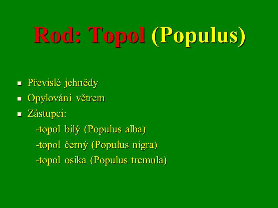Rod: Topol (Populus) Převislé jehnědy Převislé jehnědy Opylování větrem Opylování větrem Zástupci: Zástupci: -topol bílý (Populus alba) -topol bílý (Populus alba) -topol černý (Populus nigra) -topol černý (Populus nigra) -topol osika (Populus tremula) -topol osika (Populus tremula)