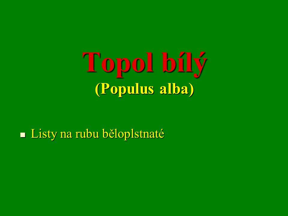 Topol bílý (Populus alba) Listy na rubu běloplstnaté Listy na rubu běloplstnaté