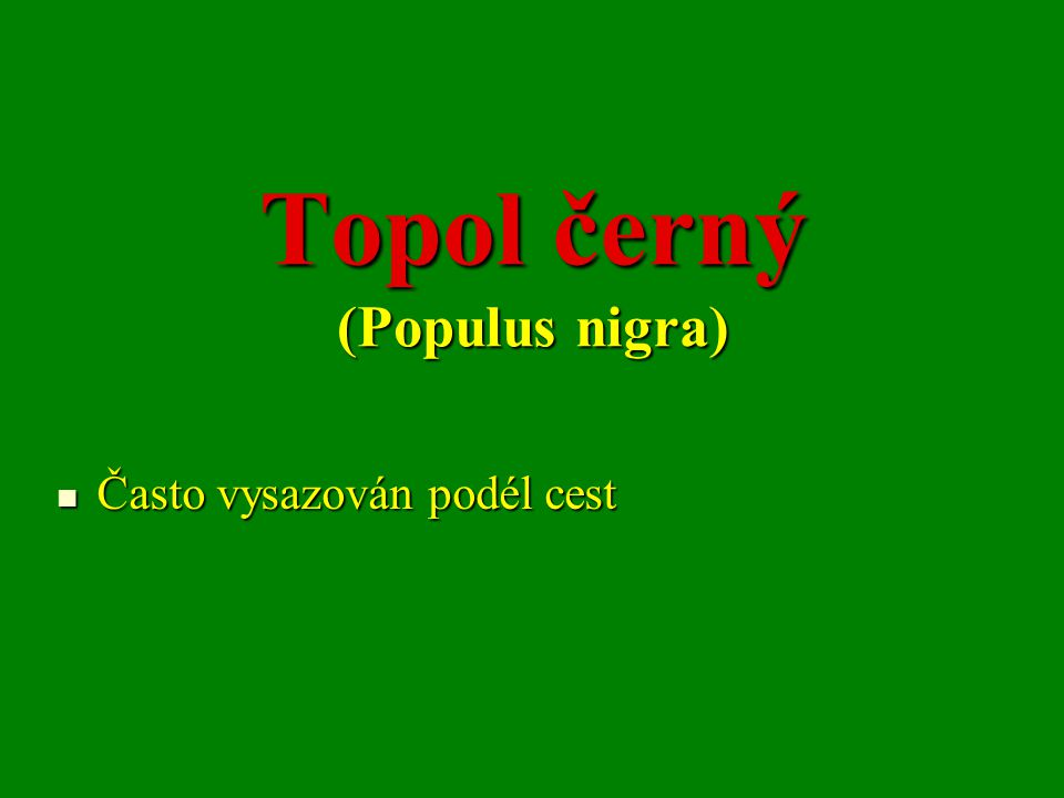 Topol černý (Populus nigra) Často vysazován podél cest Často vysazován podél cest