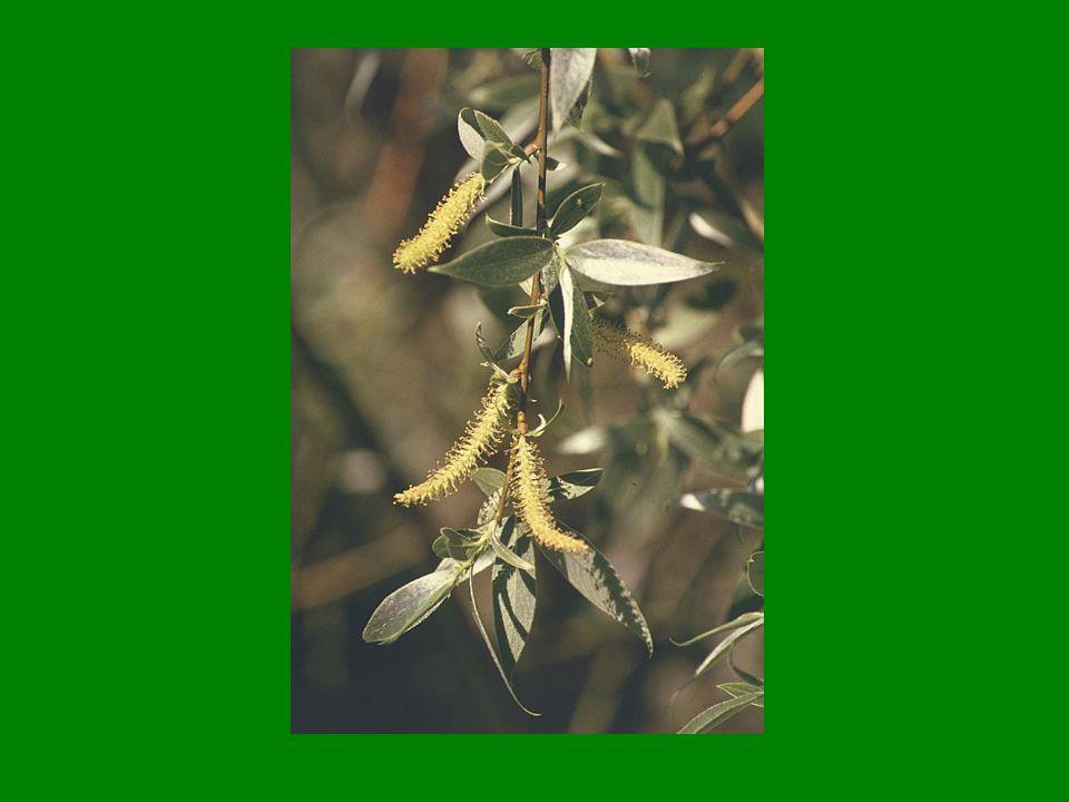 Vrba křehká (Salix fragilis)