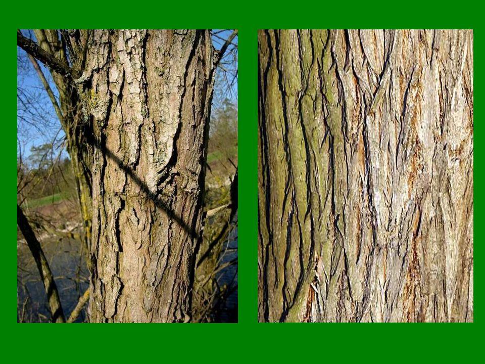 Topoly jsou opylovány… A) Hmyzem A) Hmyzem B) Větrem B) Větrem
