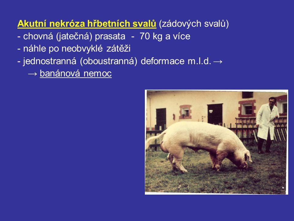 Akutní nekróza hřbetních svalů (zádových svalů) - chovná (jatečná) prasata - 70 kg a více - náhle po neobvyklé zátěži - jednostranná (oboustranná) def