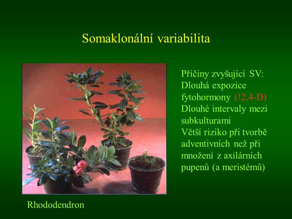 Somaklonální variabilita Rhododendron Příčiny zvyšující SV: Dlouhá expozice fytohormony (!2,4-D) Dlouhé intervaly mezi subkulturami Větší riziko při t