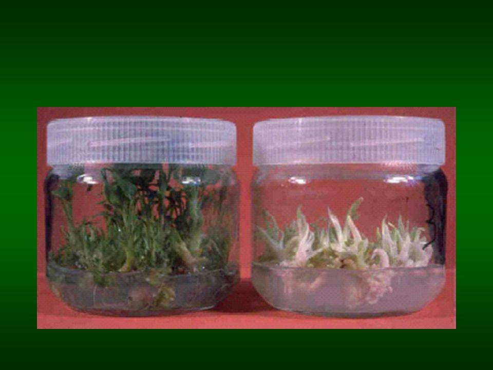 Somaklonální variabilita Rhododendron Příčiny zvyšující SV: Dlouhá expozice fytohormony (!2,4-D) Dlouhé intervaly mezi subkulturami Větší riziko při tvorbě adventivních než při množení z axilárních pupenů (a meristémů)