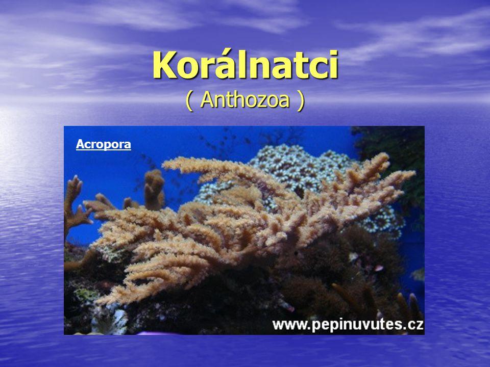 Korálnatci ( Anthozoa ) Acropora