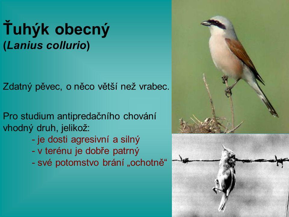 Zdatný pěvec, o něco větší než vrabec. Pro studium antipredačního chování vhodný druh, jelikož: - je dosti agresivní a silný - v terénu je dobře patrn