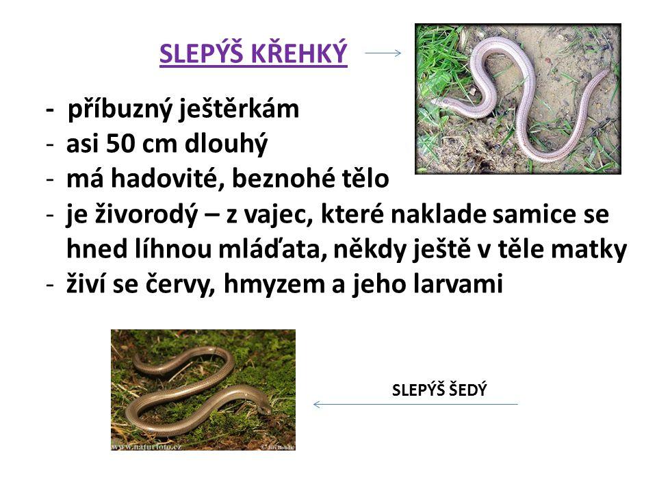 SLEPÝŠ KŘEHKÝ - příbuzný ještěrkám -asi 50 cm dlouhý -má hadovité, beznohé tělo -je živorodý – z vajec, které naklade samice se hned líhnou mláďata, n