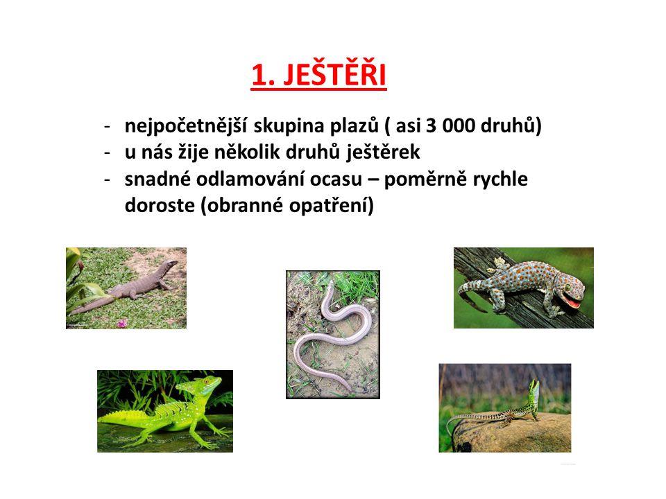 JEŠTĚRKA OBECNÁ -teplé, slunné, skalnaté svahy -zima - zimní úkryty -květen – červen samička snese 3 – 15 vajíček -vajíčka zahrabe do jamky -mláďata se líhnou za 56 dní -živí se různým hmyzem a pavouky