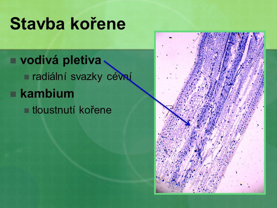 Stavba kořene vodivá pletiva radiální svazky cévní kambium tloustnutí kořene