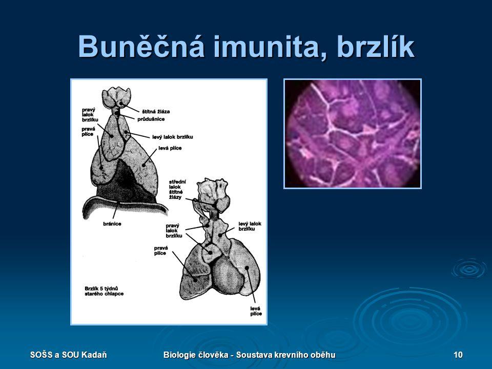 SOŠS a SOU KadaňBiologie člověka - Soustava krevního oběhu10 Buněčná imunita, brzlík