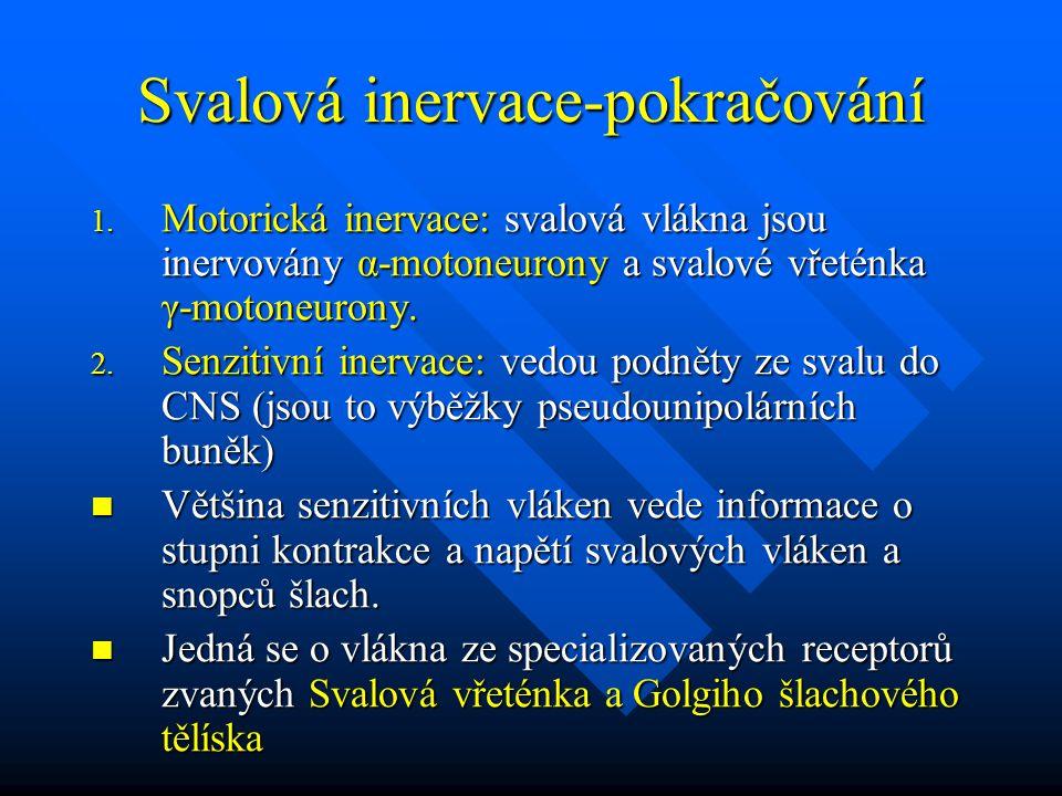 Svalová inervace-pokračování 1. Motorická inervace: svalová vlákna jsou inervovány α-motoneurony a svalové vřeténka γ-motoneurony. 2. Senzitivní inerv