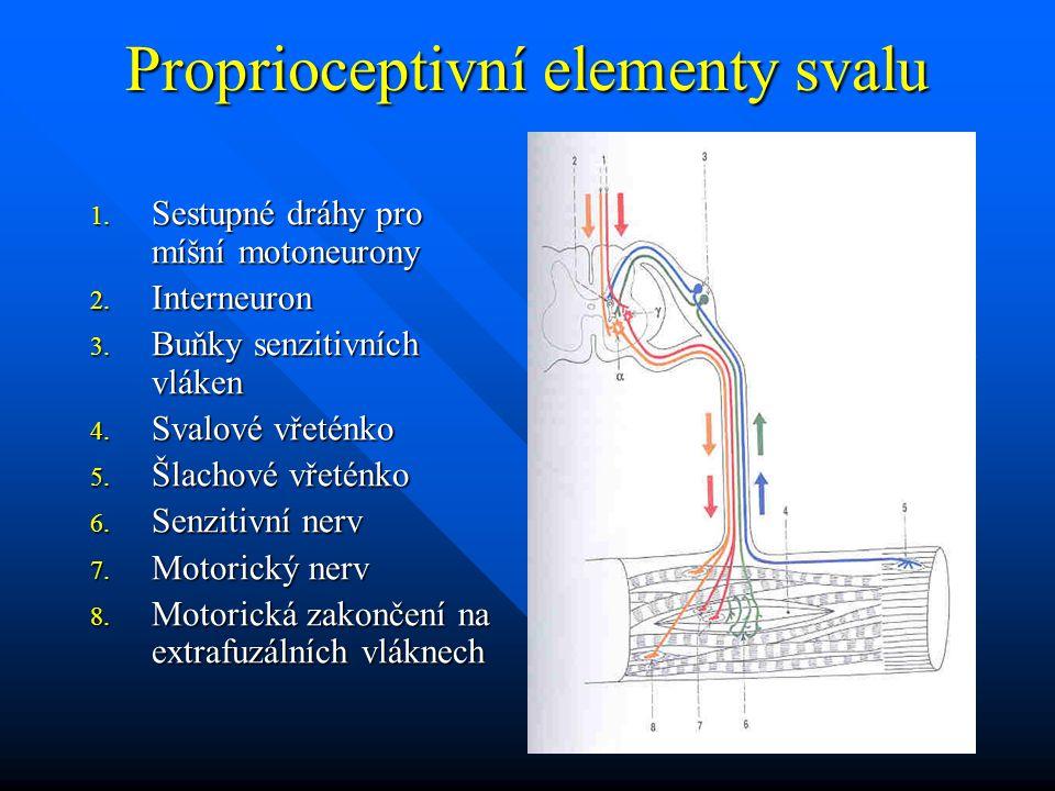 Proprioceptivní elementy svalu 1. Sestupné dráhy pro míšní motoneurony 2. Interneuron 3. Buňky senzitivních vláken 4. Svalové vřeténko 5. Šlachové vře