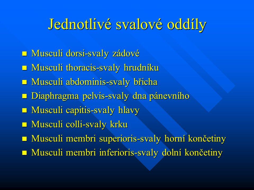 Jednotlivé svalové oddíly Musculi dorsi-svaly zádové Musculi dorsi-svaly zádové Musculi thoracis-svaly hrudníku Musculi thoracis-svaly hrudníku Musculi abdominis-svaly břicha Musculi abdominis-svaly břicha Diaphragma pelvis-svaly dna pánevního Diaphragma pelvis-svaly dna pánevního Musculi capitis-svaly hlavy Musculi capitis-svaly hlavy Musculi colli-svaly krku Musculi colli-svaly krku Musculi membri superioris-svaly horní končetiny Musculi membri superioris-svaly horní končetiny Musculi membri inferioris-svaly dolní končetiny Musculi membri inferioris-svaly dolní končetiny