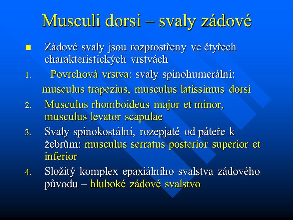 Musculi dorsi – svaly zádové Zádové svaly jsou rozprostřeny ve čtyřech charakteristických vrstvách Zádové svaly jsou rozprostřeny ve čtyřech charakter