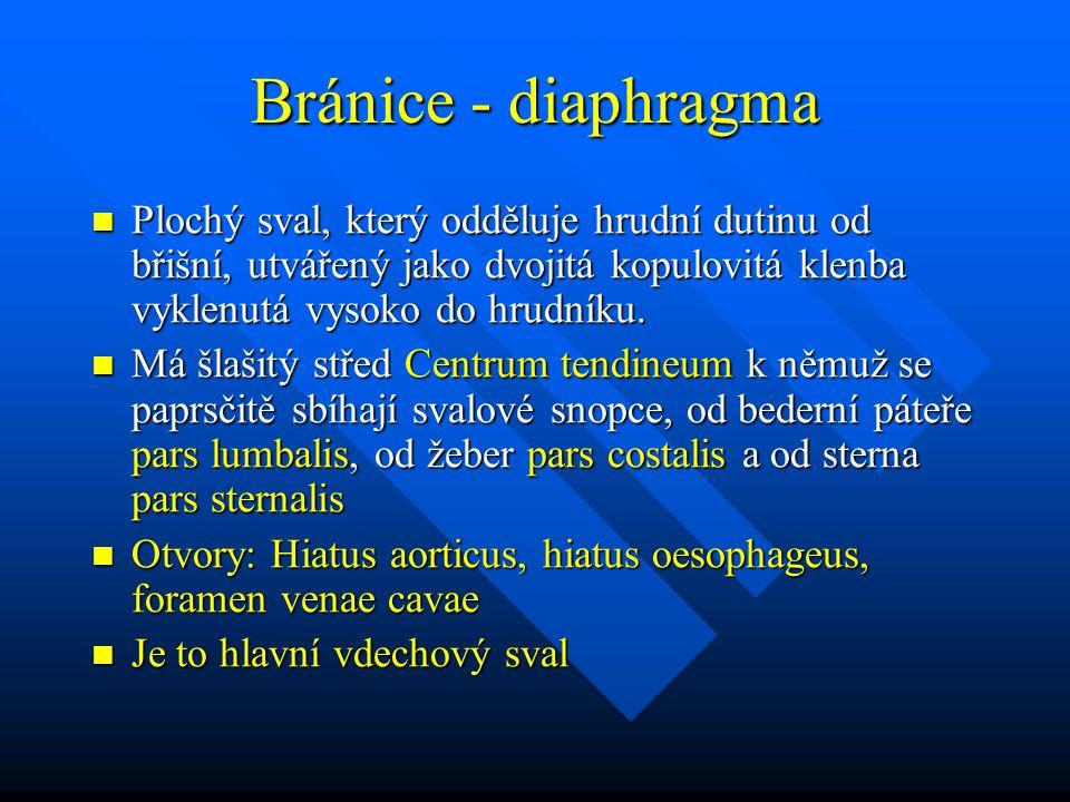 Bránice - diaphragma Plochý sval, který odděluje hrudní dutinu od břišní, utvářený jako dvojitá kopulovitá klenba vyklenutá vysoko do hrudníku. Plochý