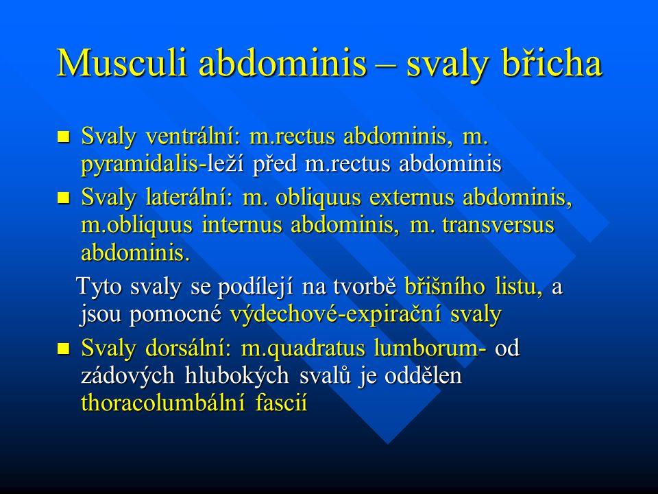 Musculi abdominis – svaly břicha Svaly ventrální: m.rectus abdominis, m. pyramidalis-leží před m.rectus abdominis Svaly ventrální: m.rectus abdominis,
