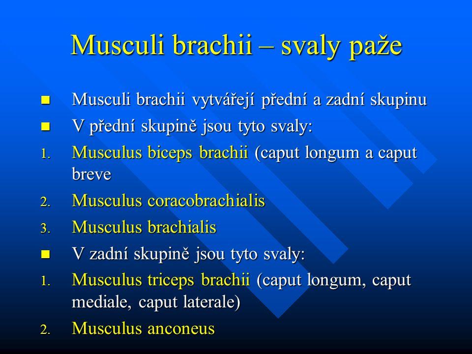 Musculi brachii – svaly paže Musculi brachii vytvářejí přední a zadní skupinu Musculi brachii vytvářejí přední a zadní skupinu V přední skupině jsou tyto svaly: V přední skupině jsou tyto svaly: 1.