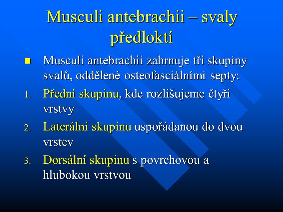 Musculi antebrachii – svaly předloktí Musculi antebrachii zahrnuje tři skupiny svalů, oddělené osteofasciálními septy: Musculi antebrachii zahrnuje tři skupiny svalů, oddělené osteofasciálními septy: 1.