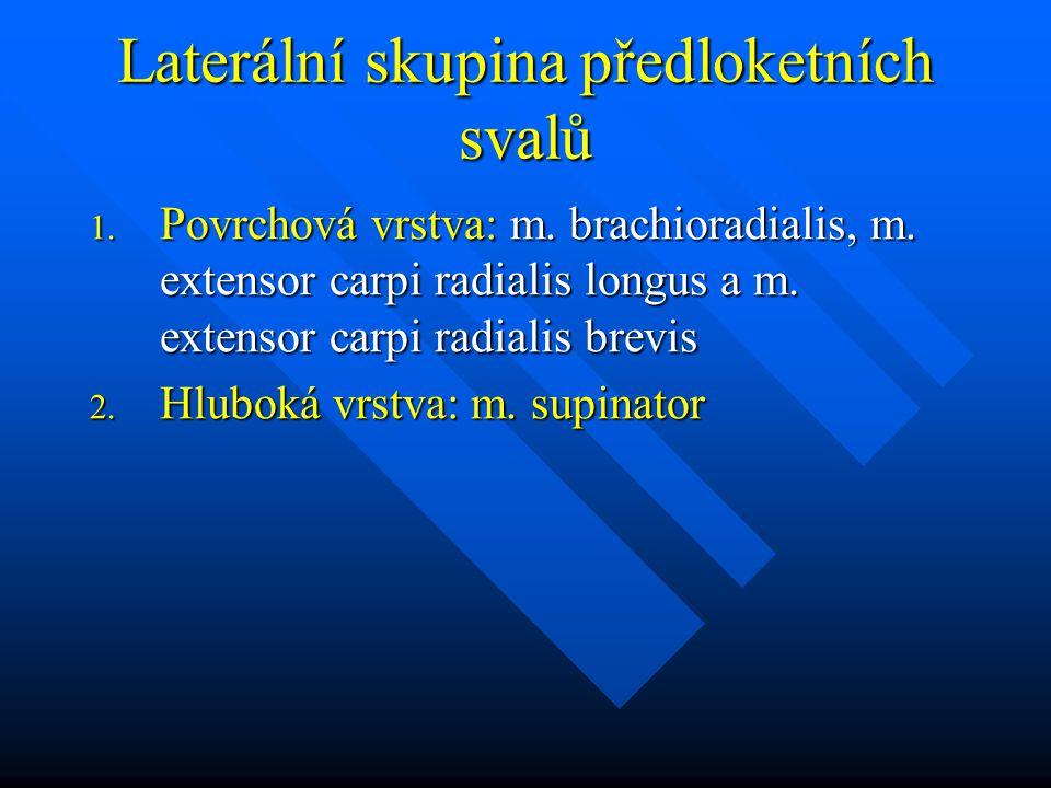 Laterální skupina předloketních svalů 1. Povrchová vrstva: m. brachioradialis, m. extensor carpi radialis longus a m. extensor carpi radialis brevis 2