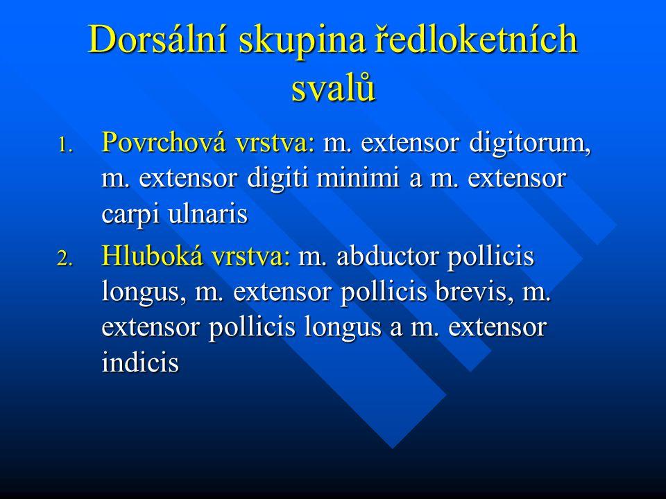 Dorsální skupina ředloketních svalů 1. Povrchová vrstva: m. extensor digitorum, m. extensor digiti minimi a m. extensor carpi ulnaris 2. Hluboká vrstv