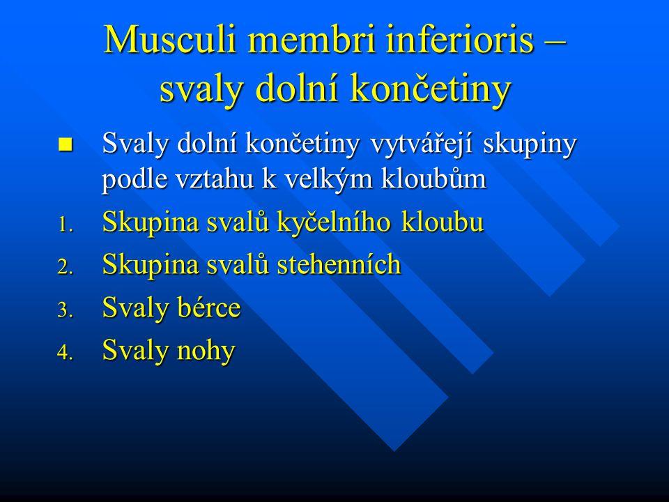 Musculi membri inferioris – svaly dolní končetiny Svaly dolní končetiny vytvářejí skupiny podle vztahu k velkým kloubům Svaly dolní končetiny vytvářejí skupiny podle vztahu k velkým kloubům 1.