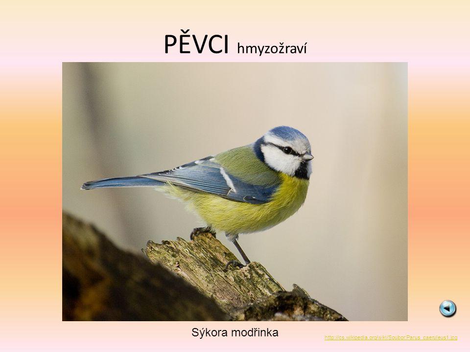 PĚVCI hmyzožraví Sýkora modřinka http://cs.wikipedia.org/wiki/Soubor:Parus_caeruleus1.jpg