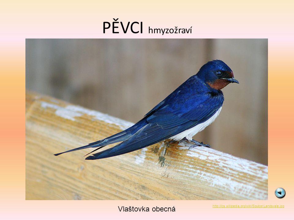 PĚVCI hmyzožraví Jiřička obecná http://commons.wikimedia.org/wiki/File:Delichon_urbicum_09.jpg